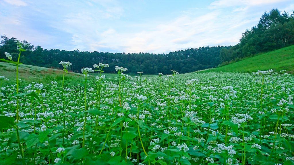 中山高原の蕎麦の花畑