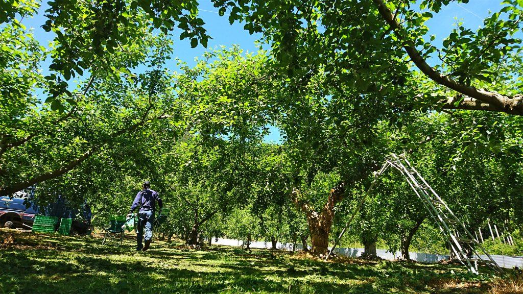 倉嶋果樹園の現場~りんごの木々~