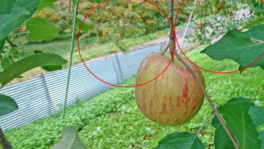 葉摘み後のリンゴの様子