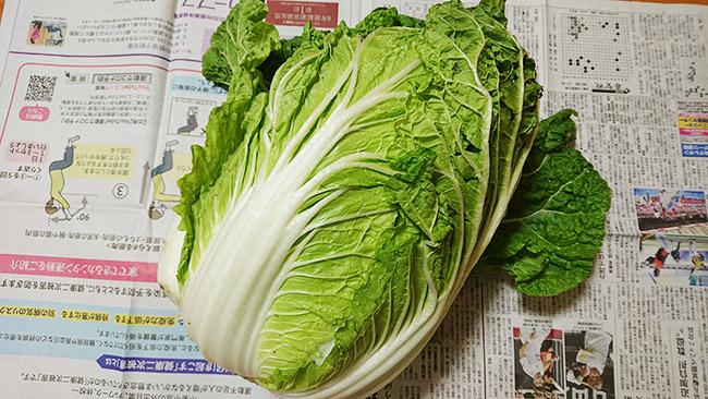 立派な白菜